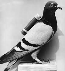 Military Pigeon