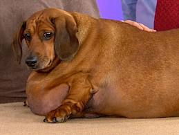 Obie the Dachshund at 77 pounds