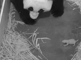Mei Xiang and cub