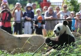 Panda at a Zoo