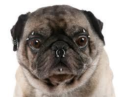Pierced Pug