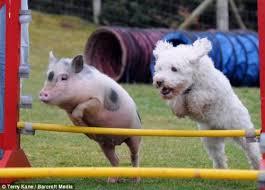 Pig and Dog doing Agility