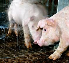 Pig looking in Mirror