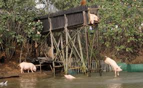 Diving pigs