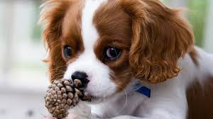 Dog with Pine Cone