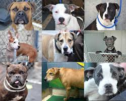 Pit Bulls Variety