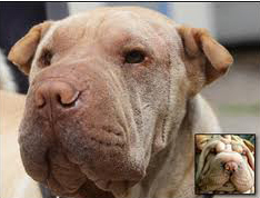 Shar Pei before and after plastic surgery