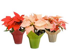 3 Different Types of Poinsettias