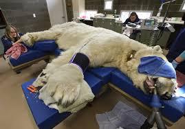 Dentistry on a Polar Bear