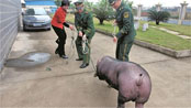 Police with new pig