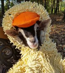 Polly the Goat in a Duck Costume