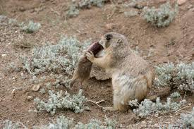 Prairie Dog Attacking Squirrel