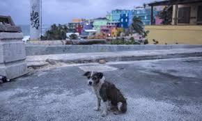 Puerto Rican Dog
