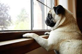 Pug Looking Out Window