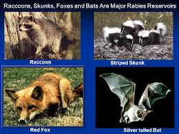Wildlife That Carry Rabies