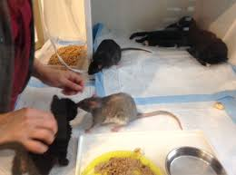 Rat with Kittens