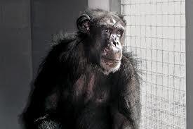 Research Chimpanzee