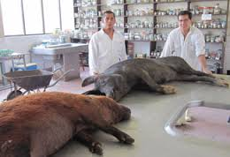 Pigs in a Research Lab