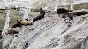 Sea Lions on bluff