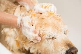 Dog being Shampooed
