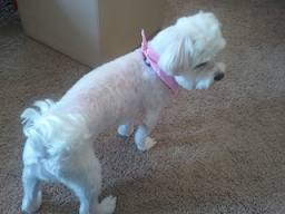 Maltese shaved down
