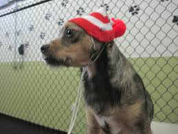 Dog Wearing Holiday Beanie in Shelter