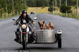 Dogs riding in a sidecar
