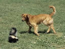 Skunk and Dog Encounter