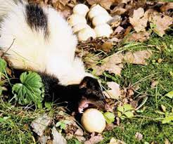 Skunk Eating Egg