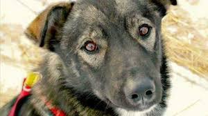 Sled Dog Killed