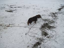 Dog chained in snow