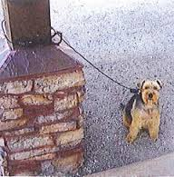 Dog tied to a pillar with the StayBoy Lock