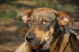 Dog suffering in silence