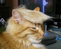 Trumped Out Cat