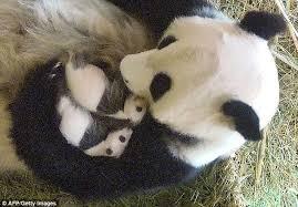 Panda Mom with Twins
