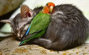 Cat sleeping with parrot
