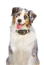 Dog wearing VOYCE