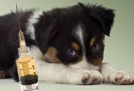 Puppy with vaccine