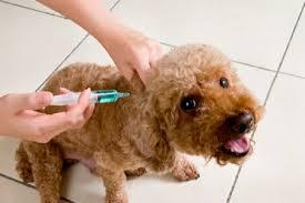 Dog receiving vaccine