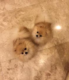Cloned Pomeranian
