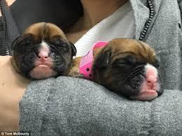 ViaGen Pets Cloned Puppies