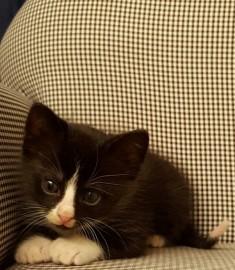Cloned Kitten