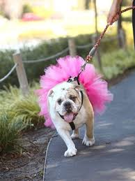 Bulldog in Tutu