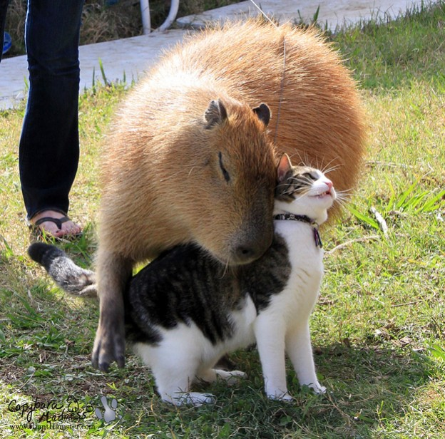 CAPYBARAS are on Animal Radio