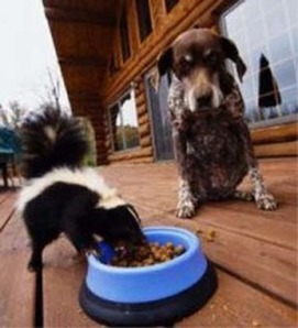 Dog seems to get along fine with Skunk