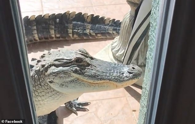 Alligator Trying to Get In House