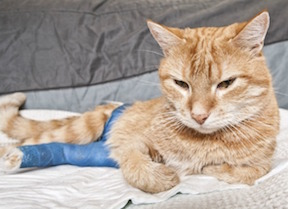 Cat with Broken Leg