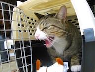 Upset Cat in Carrier