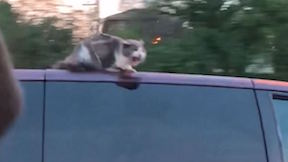 Cat on Van Roof on Highway
