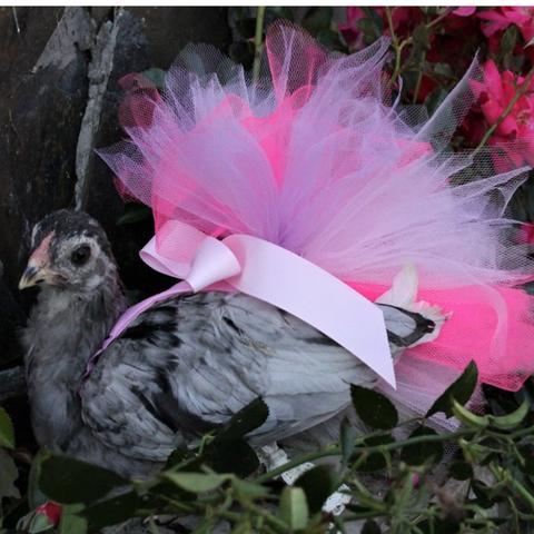 Chicken Wearing a TuTu